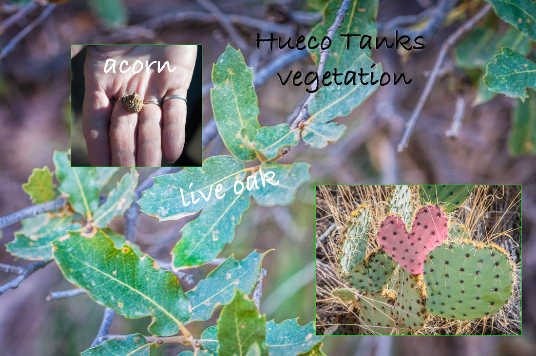 Hueco Tanks vegetation